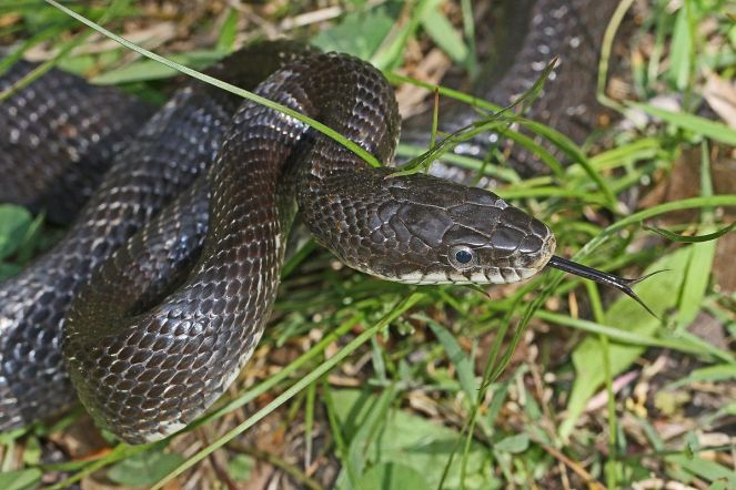 Black_Rat_Snake_-_Elaphe_obsoleta_obsoleta,_Merrimac_Farm_Wildlife_Management_Area,_Virginia